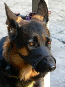 German_Shepherd_with_muzzle